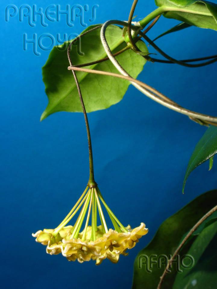 Hoya ischnopus & dischorensis & kenejiana Img_9612
