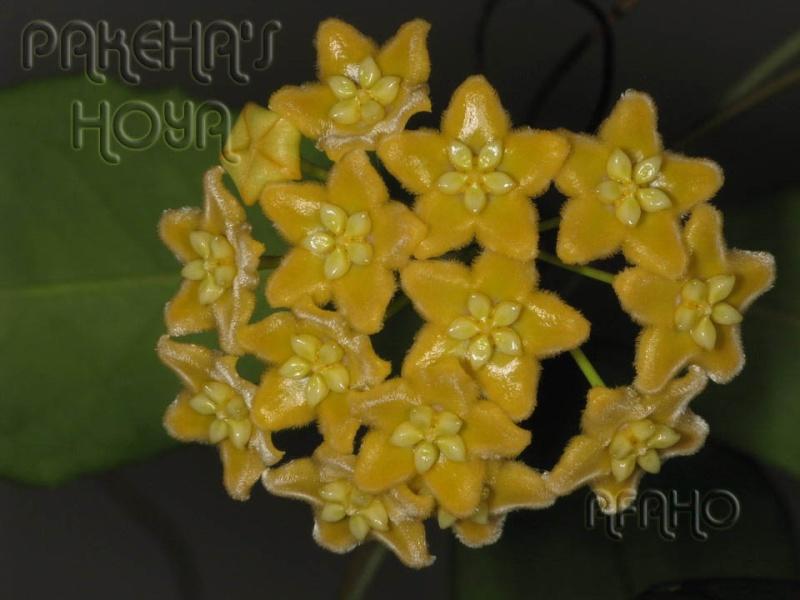 Hoya ischnopus & dischorensis & kenejiana Img_9613