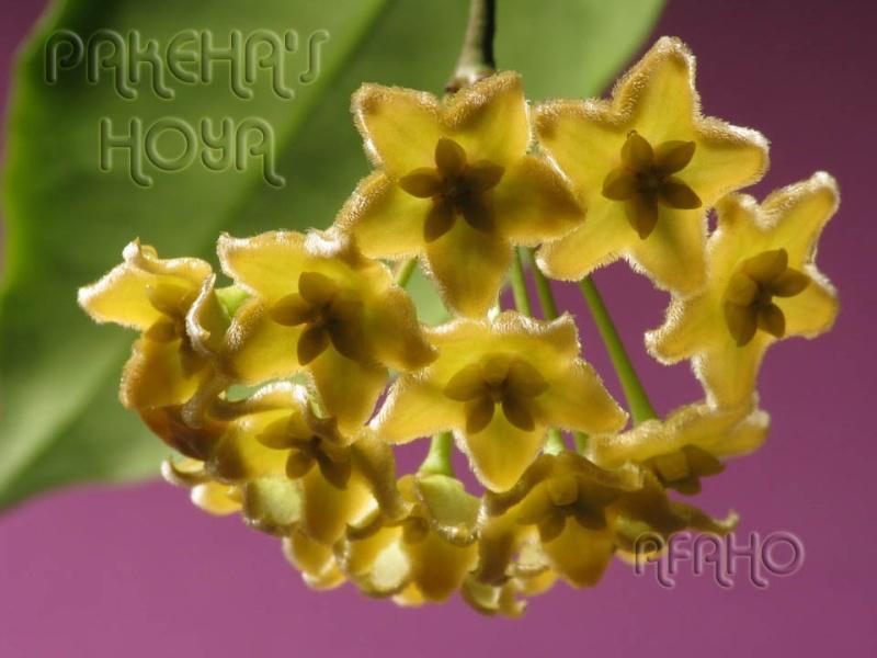 Hoya ischnopus & dischorensis & kenejiana Img_9614