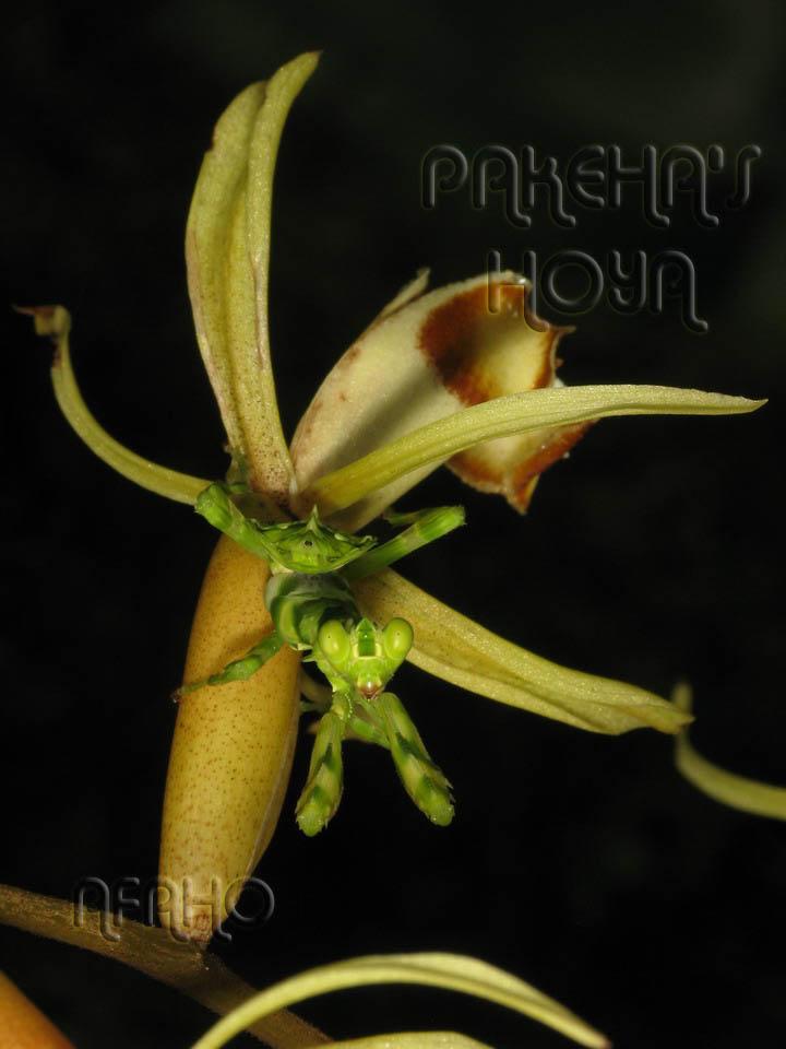Borneo - 2009 & 2010 - orhidee salbatice Img_9617
