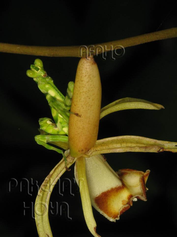 Borneo - 2009 & 2010 - orhidee salbatice Img_9618