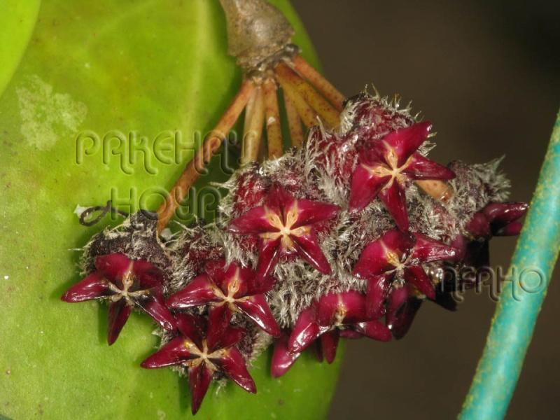 Hoya mindorensis & erythrostemma Img_9920