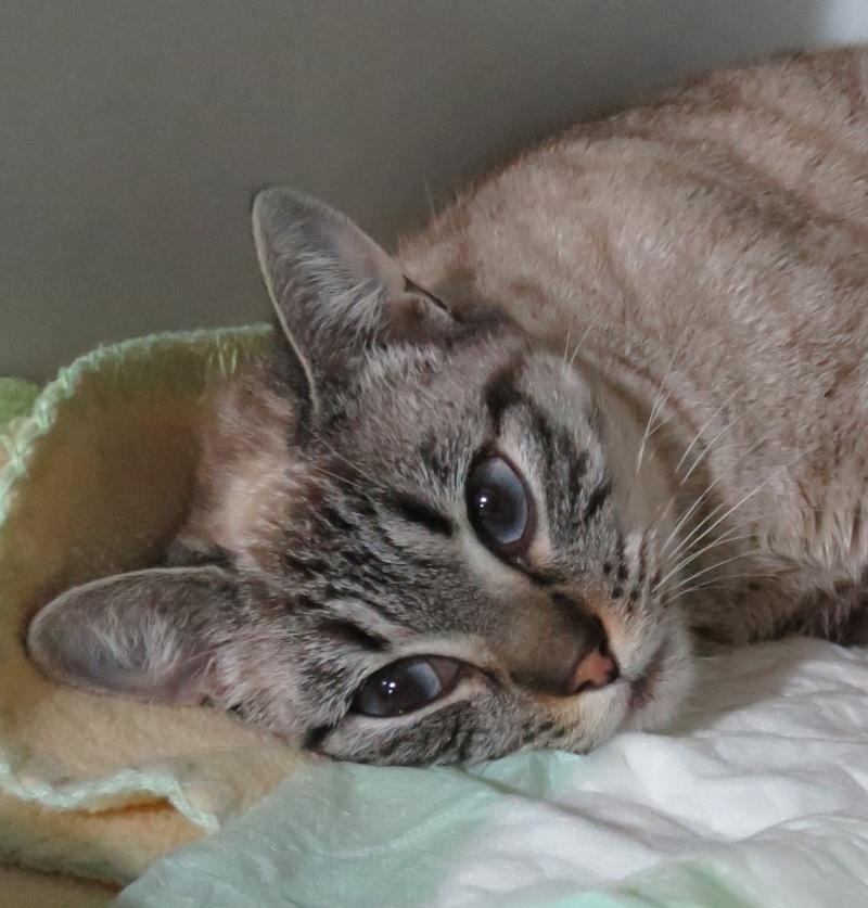 Trouvée chatte croisée siamois aux Marots à Colomiers Img_1614