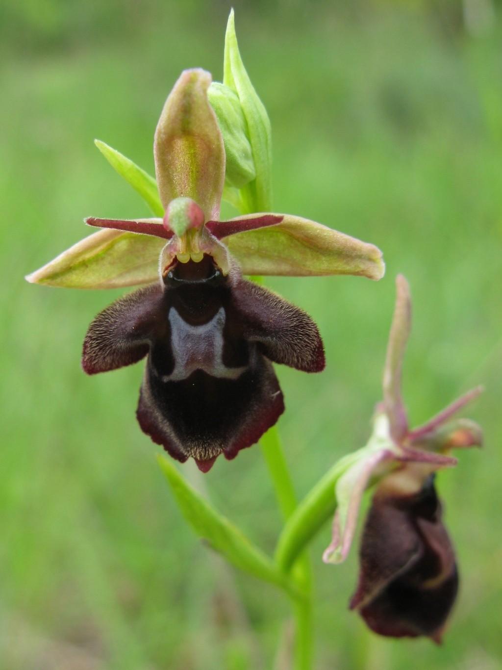 Ophrys aegirtica x insectifera O_aegi10