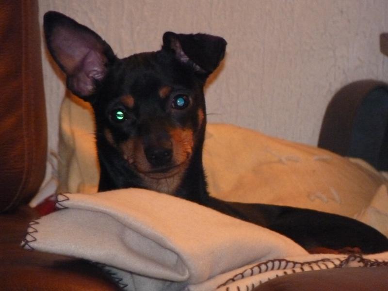 A adopter,Mikie pinscher 13 mois P1000212