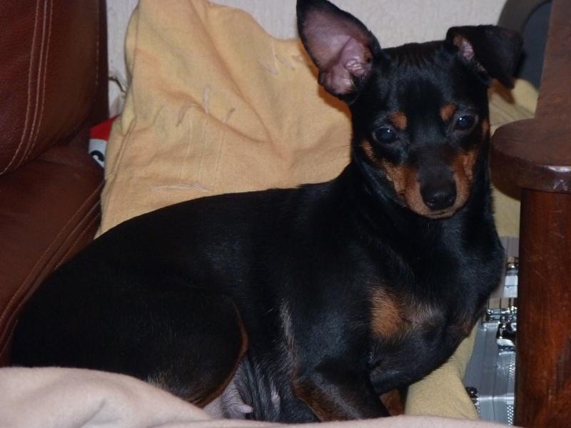 A adopter,Mikie pinscher 13 mois P1000213
