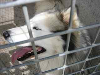 URGENT x  Husky yeux bleus  EPILEPTIQUE à Carcassonne (11) Img_0412