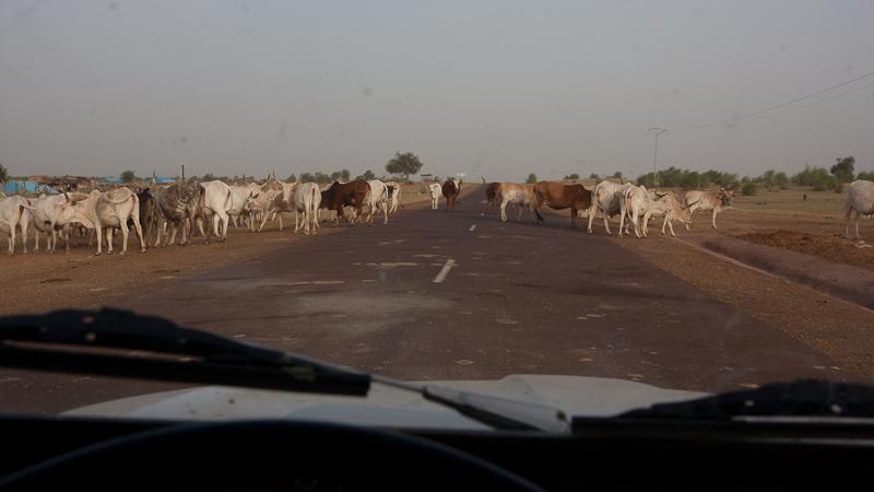 6- Des nouvelles depuis Bamako (1ere partie) Vaches10