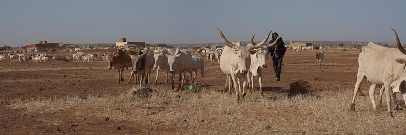 6- Des nouvelles depuis Bamako (1ere partie) Vaches11