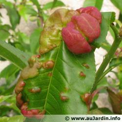 maladies et ravageurs des plantes et legumes Cloque10