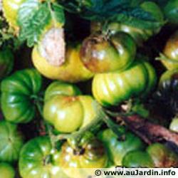 maladies et ravageurs des plantes et legumes Mildio10