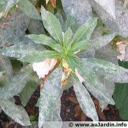 maladies et ravageurs des plantes et legumes Oidium11