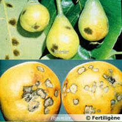 maladies et ravageurs des plantes et legumes Tavelu10