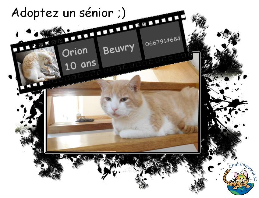 orion  2 beau chat roux et blanc(statut CHAT LIBRE) Orion10