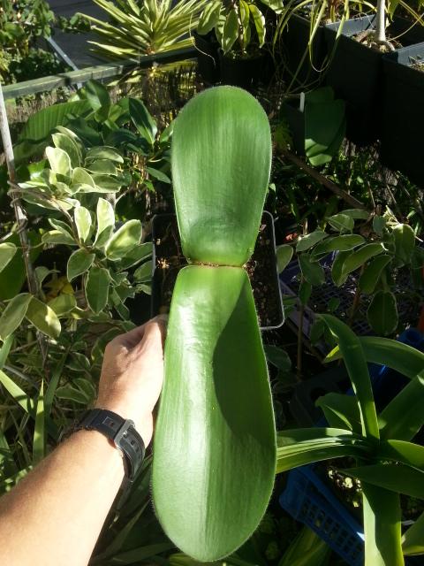 Haemanthus humilis Giant Form 20151112