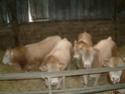 vaches allaitante  Tauril10