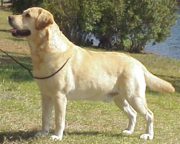 Labrador Retriever 2004-023