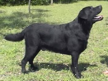Labrador Retriever 2004-024