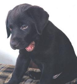Labrador Retriever 2004-026