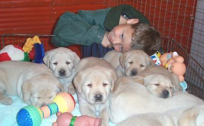 Labrador Retriever 2004-028