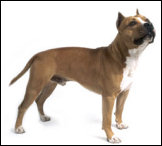 Info N°4015 du 01/02/2009 Loi sur les chiens dangereux Amstaf11