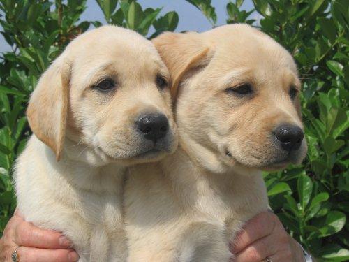 Labrador Retriever Chiots10