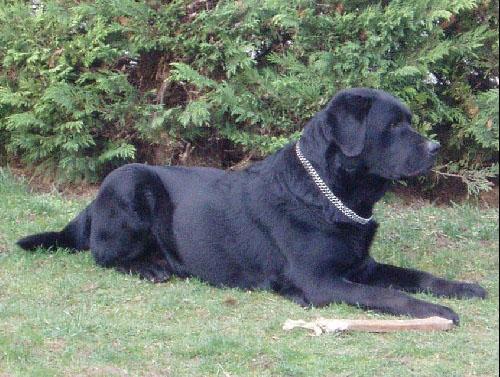 Labrador Retriever Labrad11