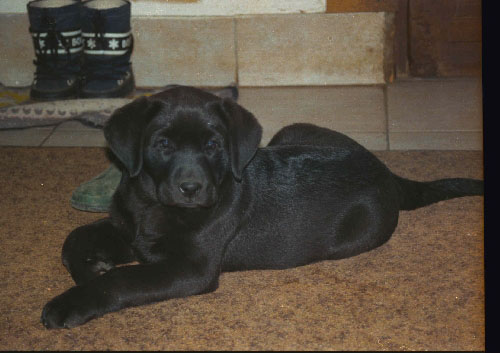 Labrador Retriever Labrad14