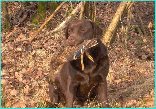 Labrador Retriever Labrad15