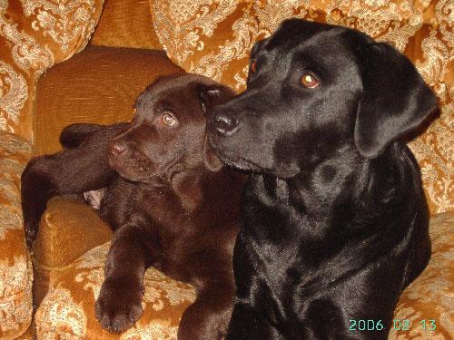Labrador Retriever Labrad16