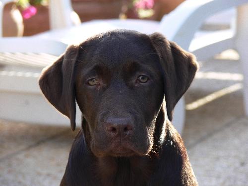 Labrador Retriever Labrad17