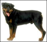 Info N°4015 du 01/02/2009 Loi sur les chiens dangereux Rottwe11