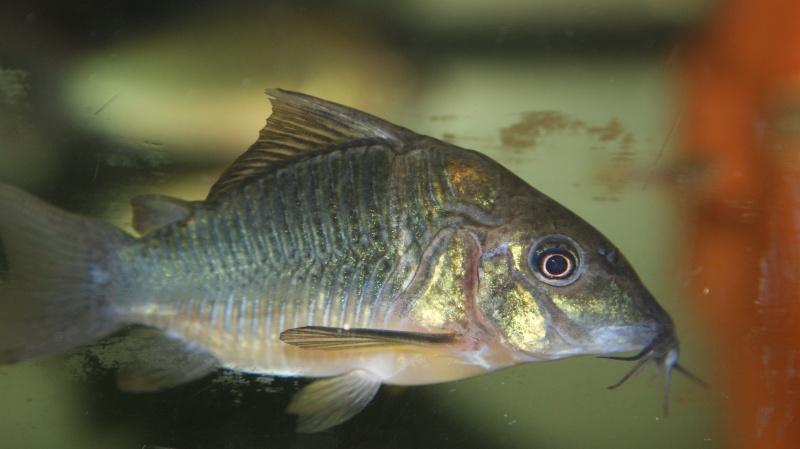 Poisson du Pérou Dsc05612