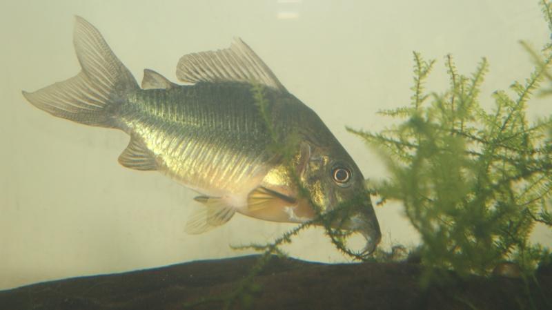 Poisson du Pérou Dsc05613