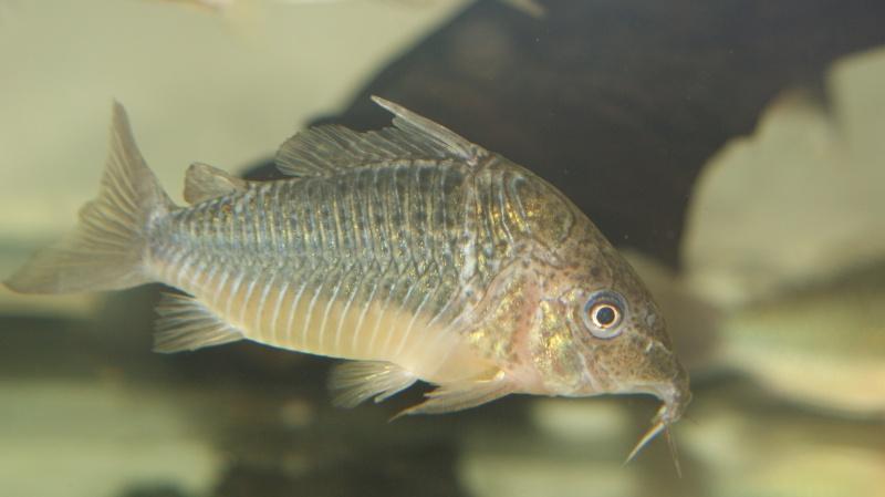 Poisson du Pérou Dsc05614