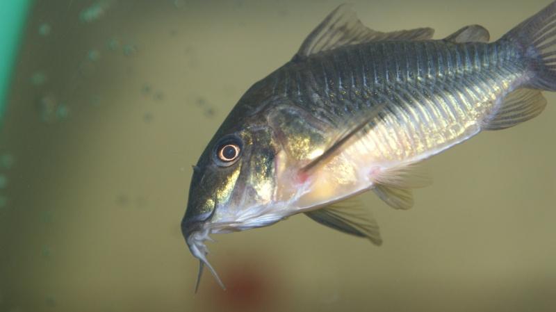 Poisson du Pérou Dsc05615