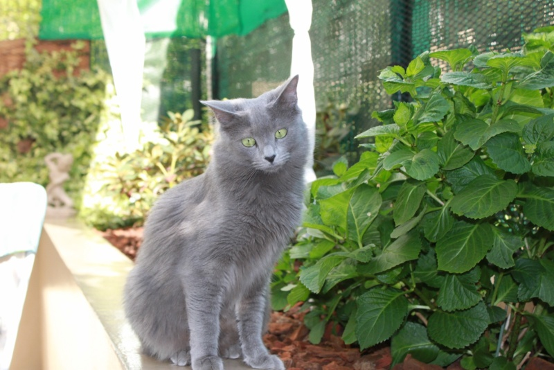 Nebelung Made in France - Page 3 Img_0117