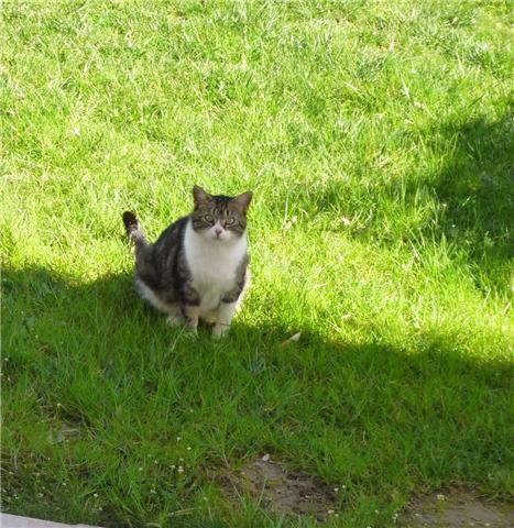 Trouvée à colomiers chatte tigrée et blanche - 03/10 C10