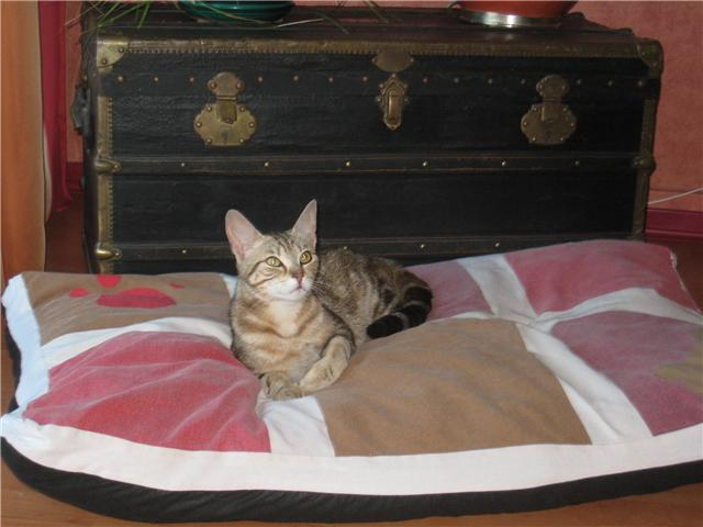 Trouvée à Colomiers chatte tigrée - 06/10 Chatte11