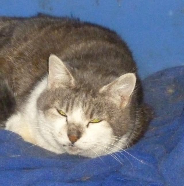 Trouvée à Colomiers chatte grise et blanche P1000329