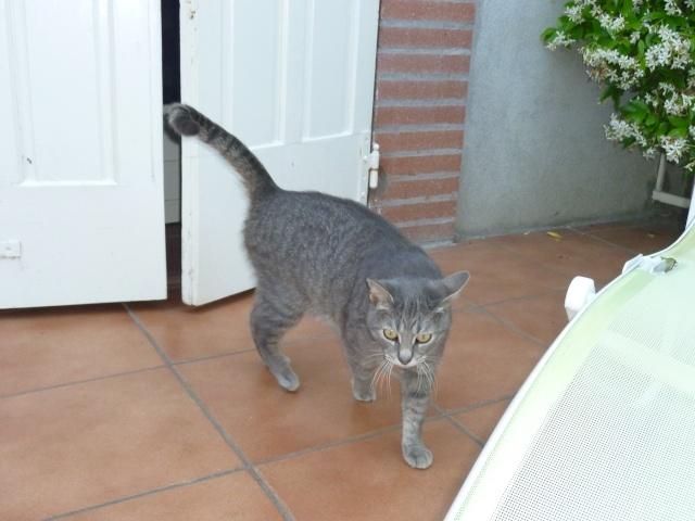 Trouvée à Plaisance chatte tigrée grise - Mai 2010 P1020011