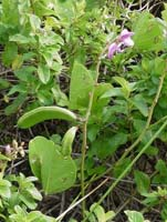 canavalia rosea Flora010