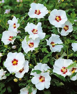 hibiscus syriacus Hibisc10