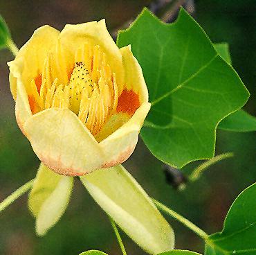 Tulipier de Virginie Liriod10
