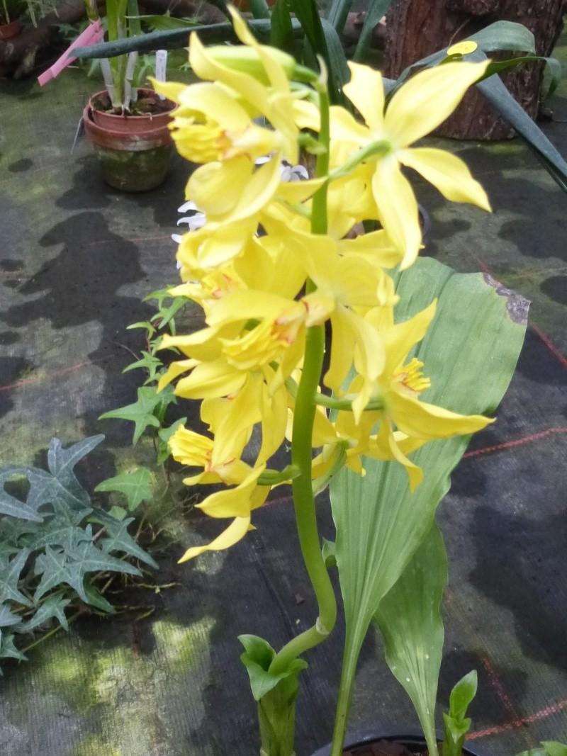 Am Orchidées à Grisy-Suisnes (77)  Calant10