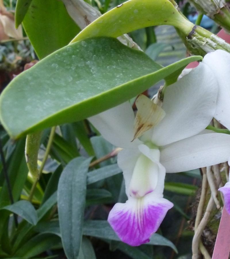 Am Orchidées à Grisy-Suisnes (77)  Cattle10