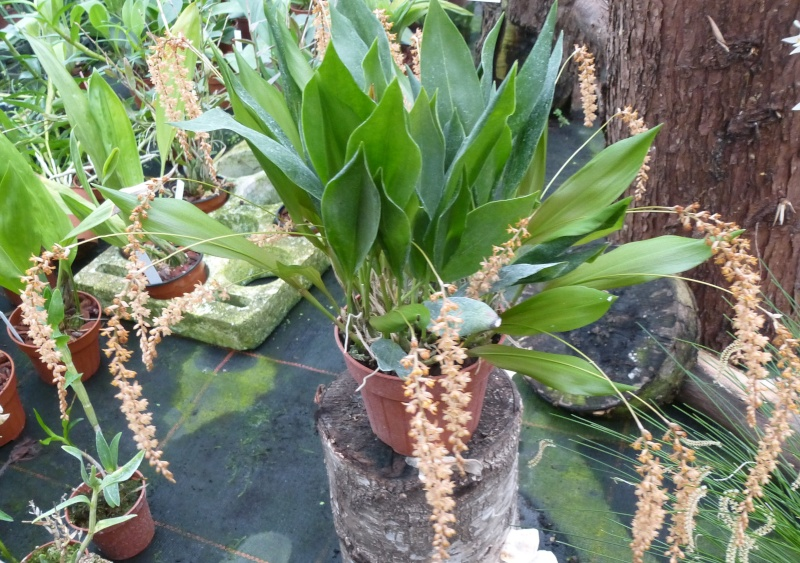 Am Orchidées à Grisy-Suisnes (77)  Dendro11