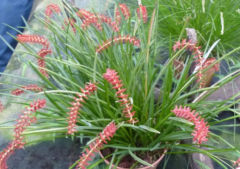 Am Orchidées à Grisy-Suisnes (77)  Dendro12