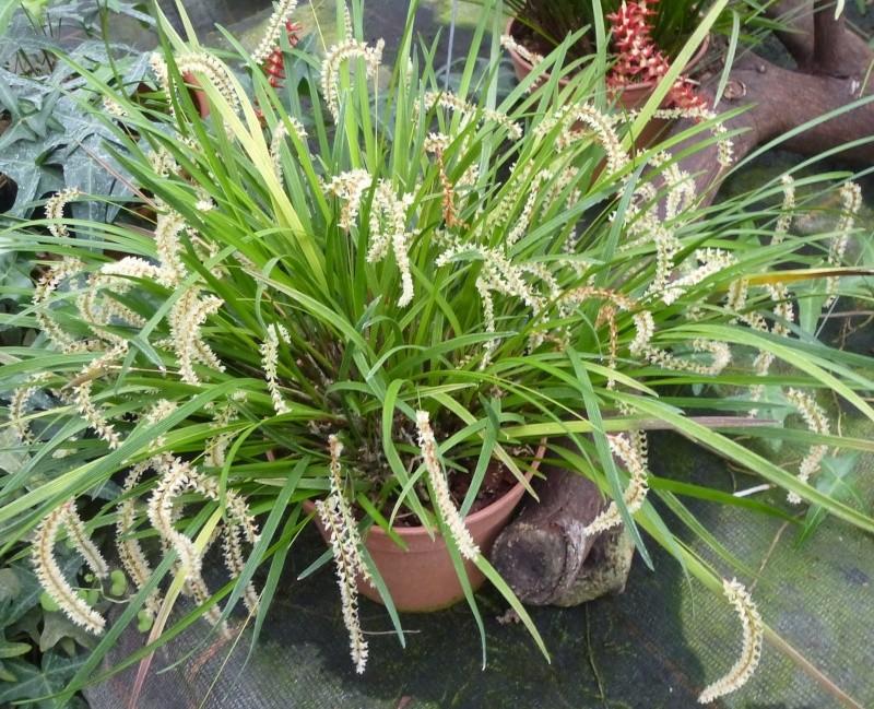 Am Orchidées à Grisy-Suisnes (77)  Dendro13