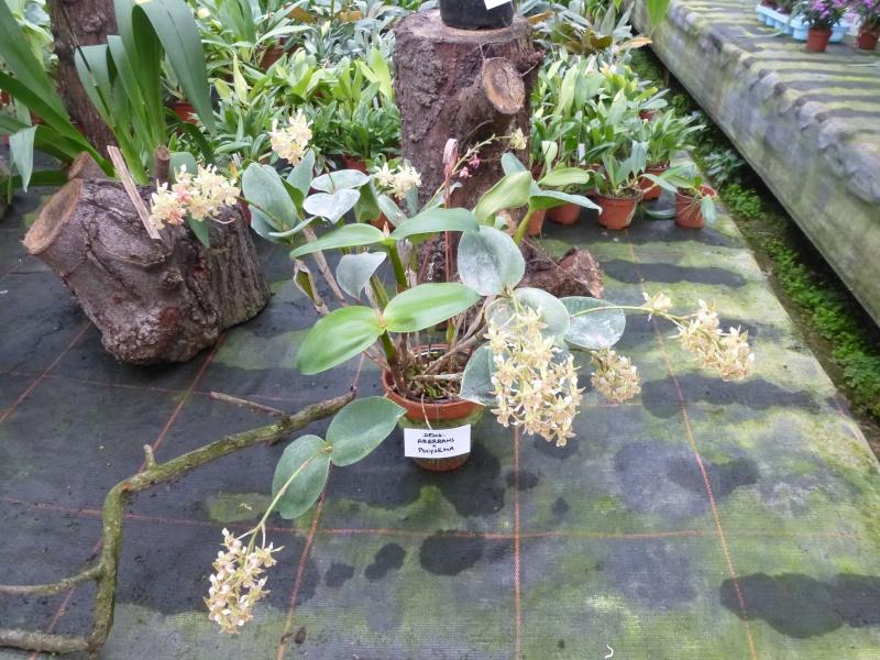 Am Orchidées à Grisy-Suisnes (77)  Dendro14
